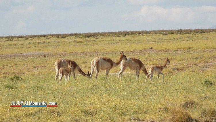 Argentina y Bolivia trabajan juntos para combatir la caza furtiva de vicuñas