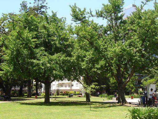 Ginkgo Biloba, árbol de la vida
