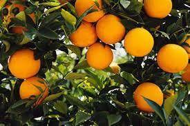 Los Barrios: Los Naranjos, undécima parte