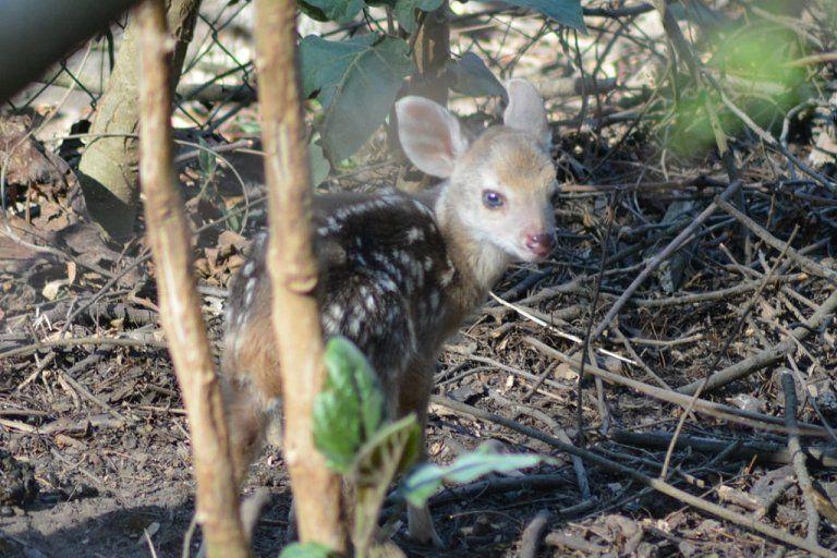 Nació una nueva corzuelita en el Parque Botánico