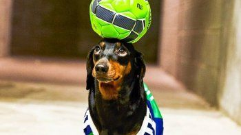 Harlso el perro que hace equilibrio con objetos sobre su cabeza