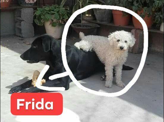 Una familia busca incansablemente a su perrita Frida