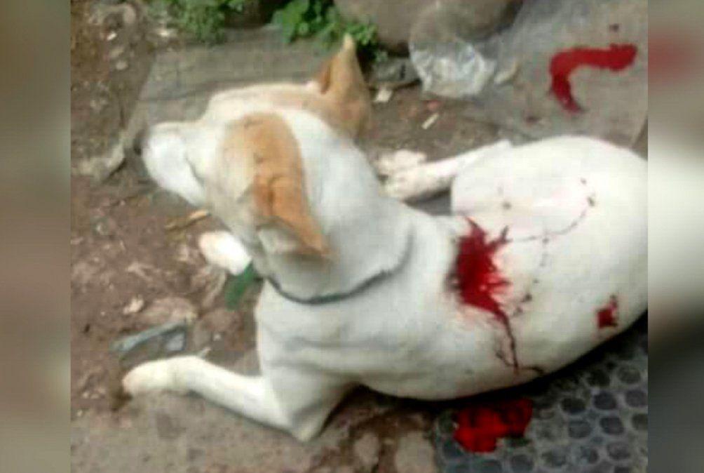 Otro grave caso de maltrato, ahora apuñalaron a un perro