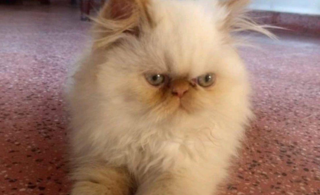 Ofrecen recompensa por la aparición de una gatita persa
