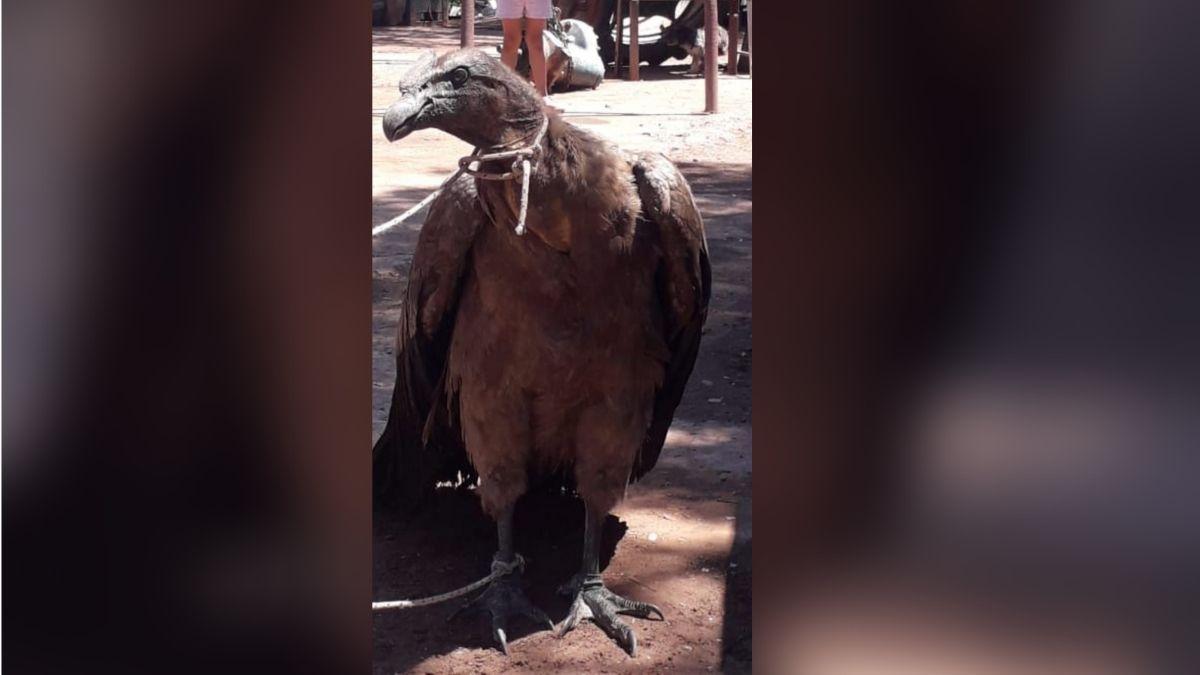 En Salta rescataron un cóndor que estaba atado en un taller mecánico