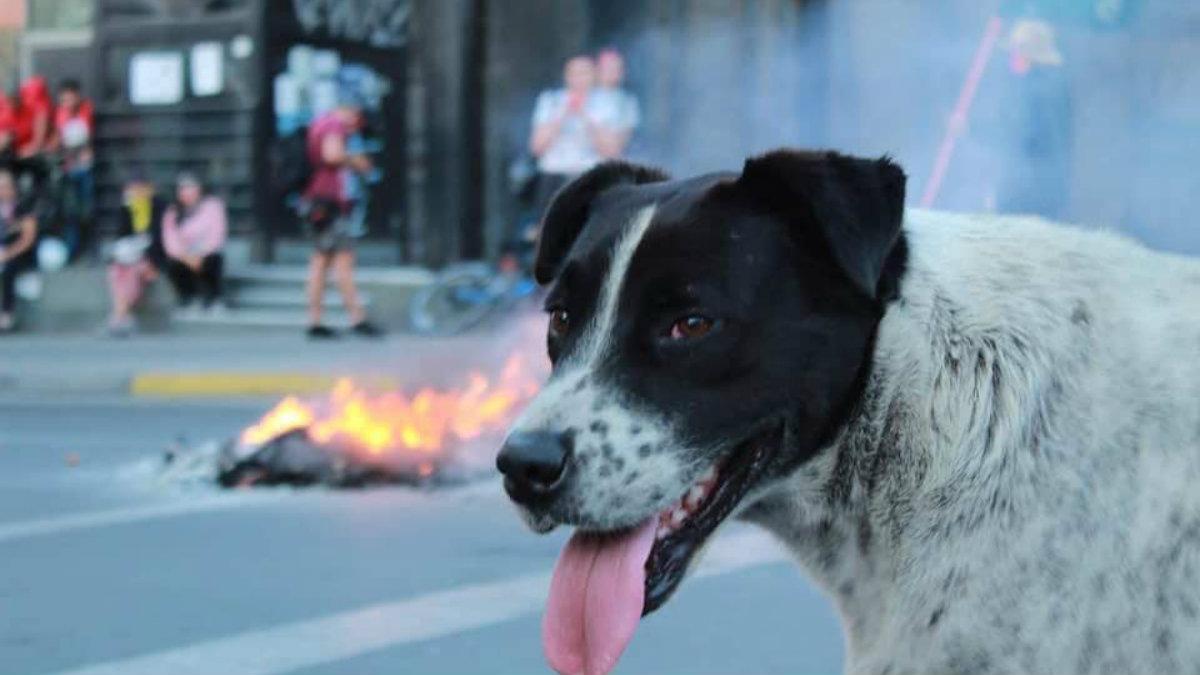 Chilenos simularon una marcha para llevar a Vaquita al veterinario