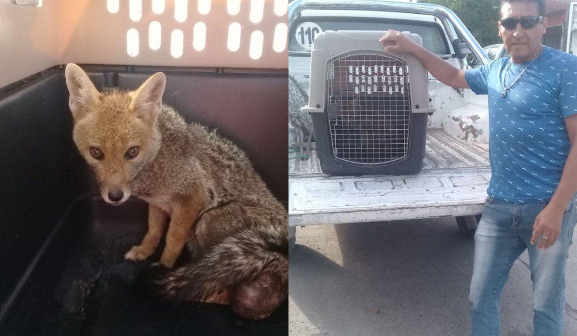 La historia detrás del zorro que fue encontrado en Palpalá