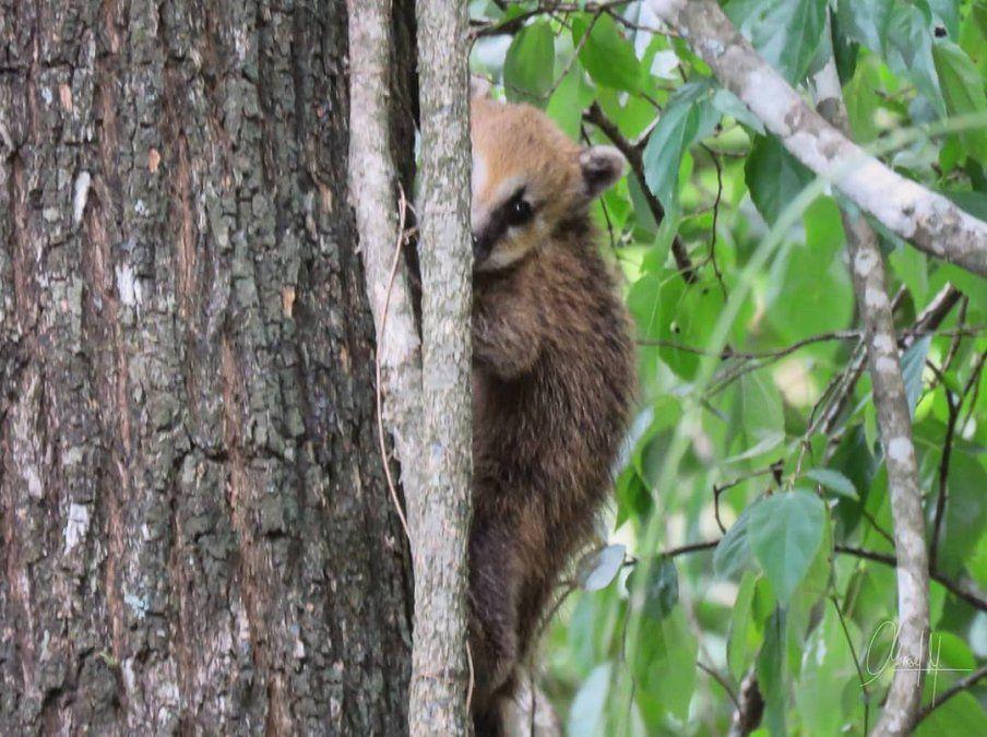 Las increíbles fotos de una familia de coatíes en el Parque Nacional Calilegua