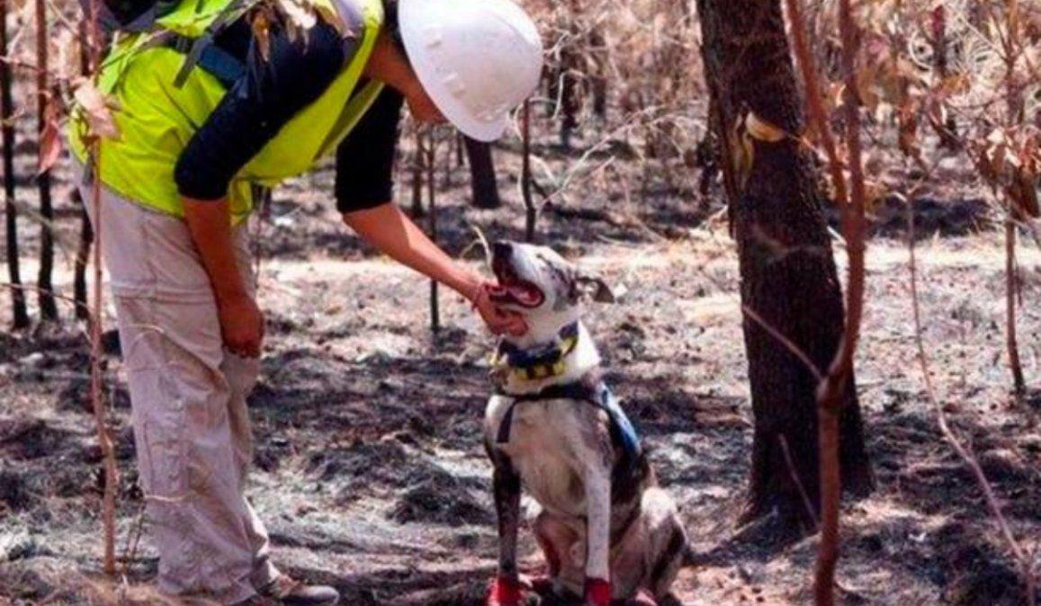 Perro busca koalas sobrevivientes de los incendios en Australia