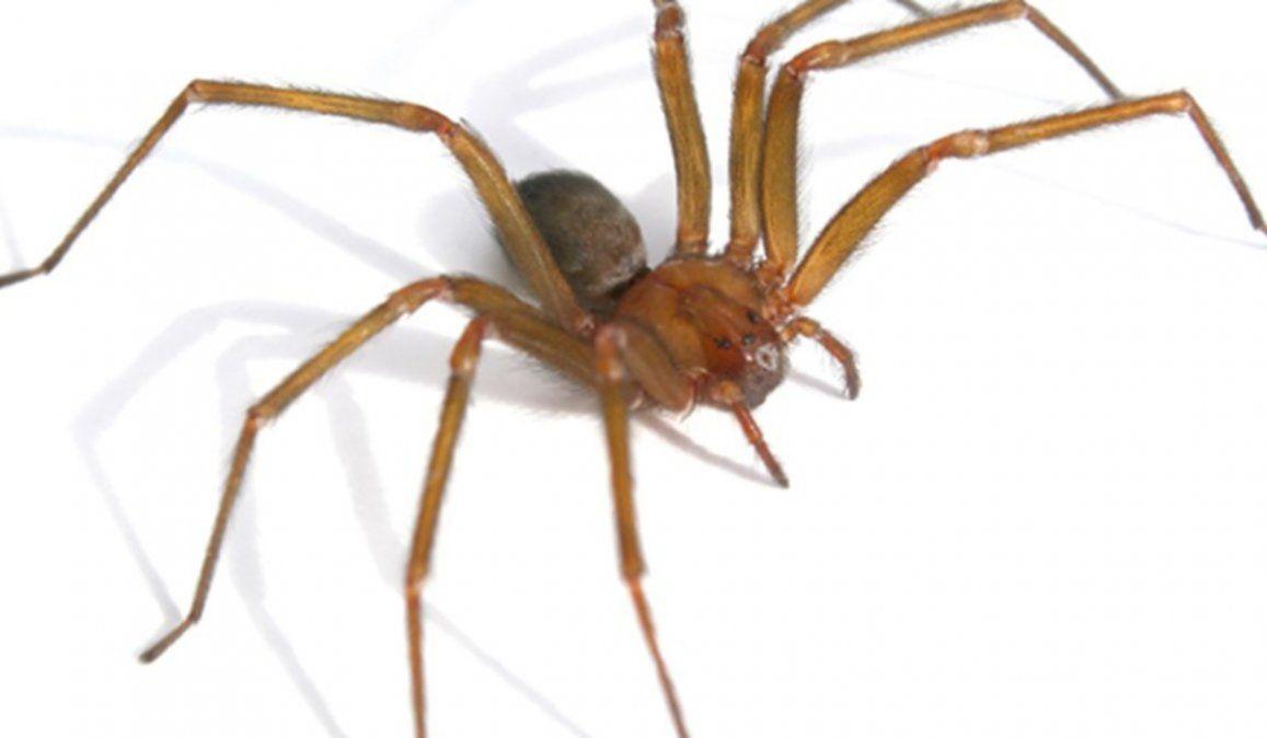 Niña de 3 años fue picada por una araña venenosa y se encuentra en grave estado