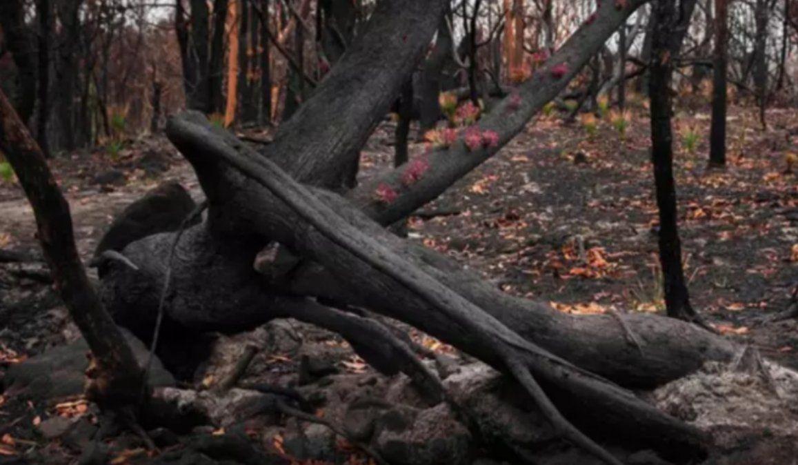 Arbustos comienzan a florecer luego de los incendios forestales en Australia