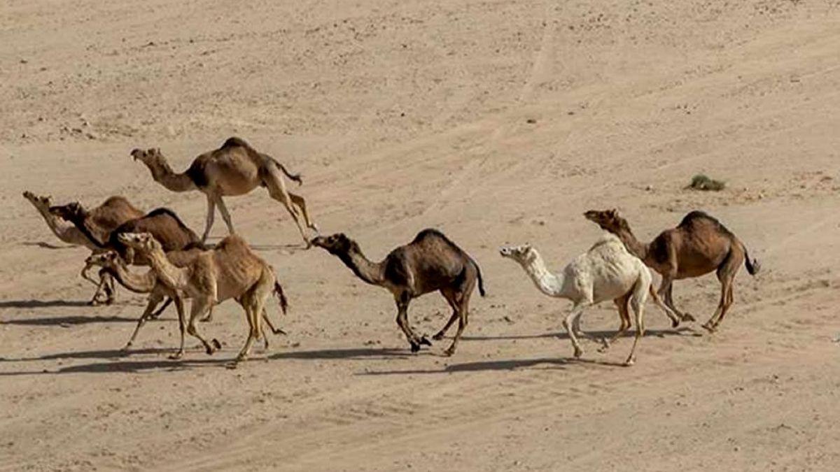 Matarán 10 mil camellos con francotiradores en 5 días por la sequía y los incendios