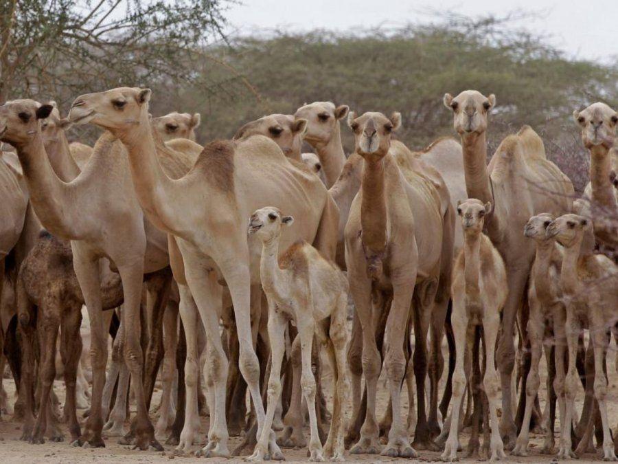 En Australia están sacrificando a miles de camellos disparándoles desde helicópteros