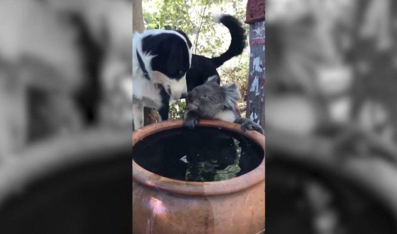 Un perro comparte su agua con un koala en Australia