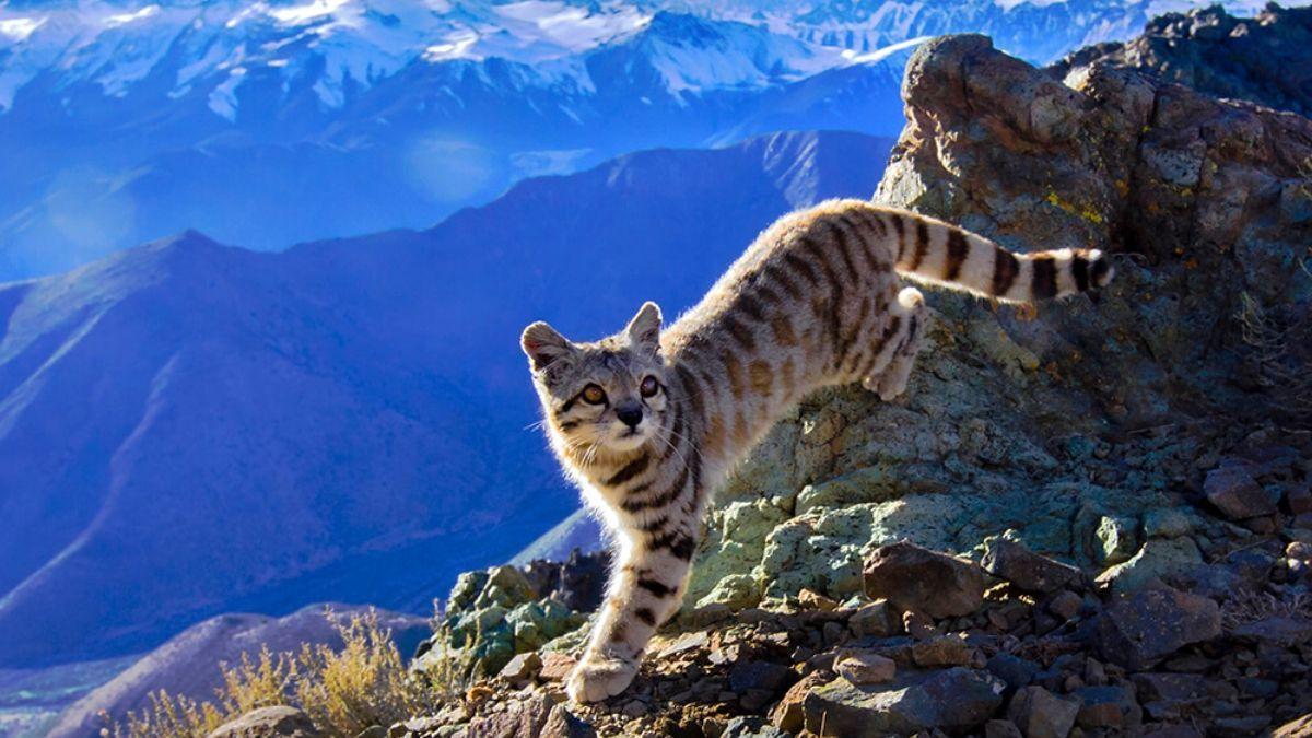 Sorpresa por el avistaje de dos gatos andinos después de 12 años