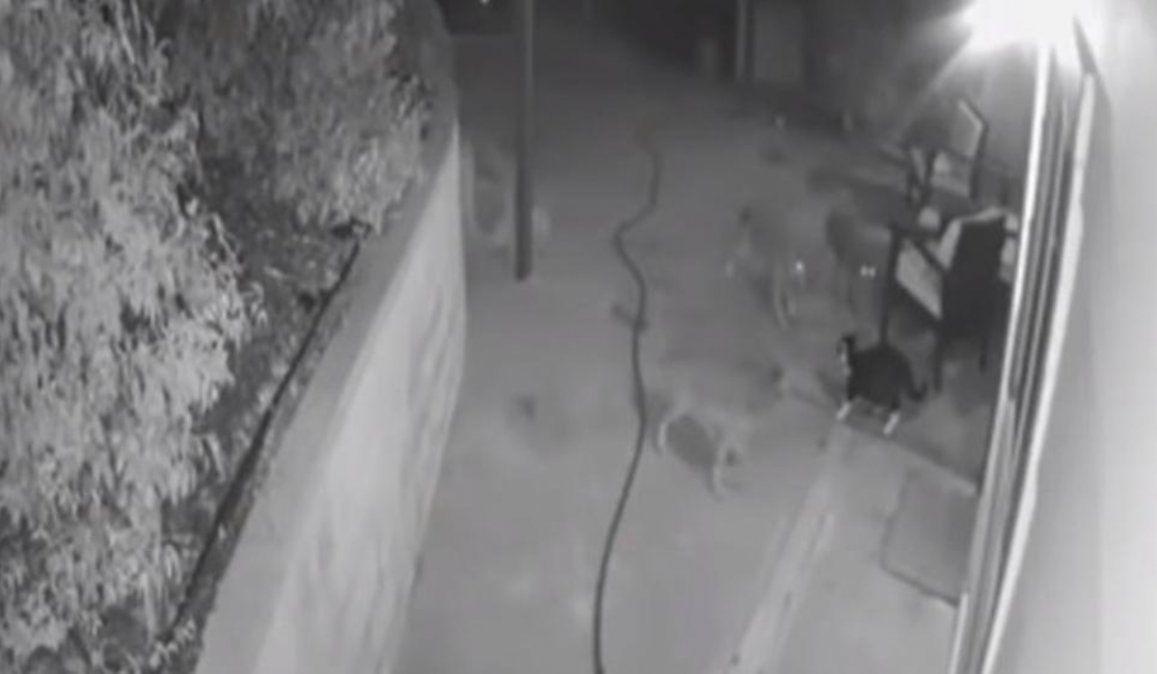 Increíble: Valiente gato se enfrentó con tres coyotes para proteger a su dueña