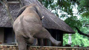 Elefante saltó una pared para robar mangos y se volvió viral