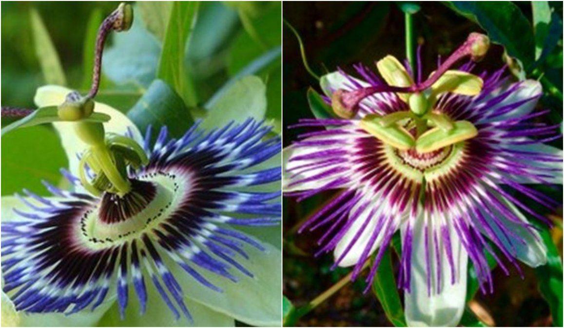 Leyenda de la flor del Mburucuyá