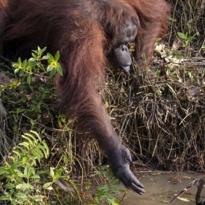 La tierna reacción de un orangután