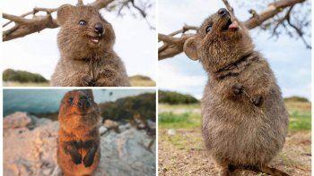 El animal más feliz del mundo existe y vive en la Isla de los Quokka