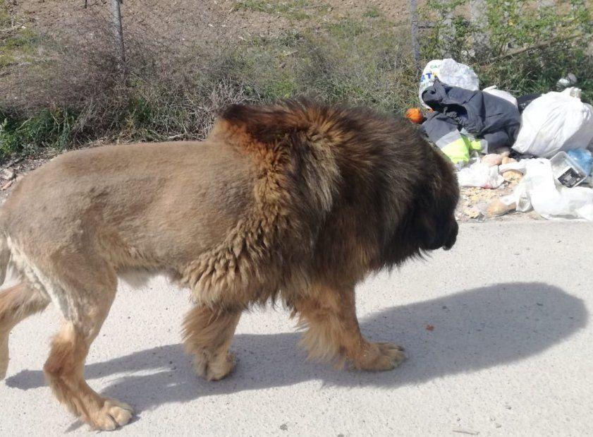Un perro 'disfrazado' de león desata el pánico en Molina de Segura