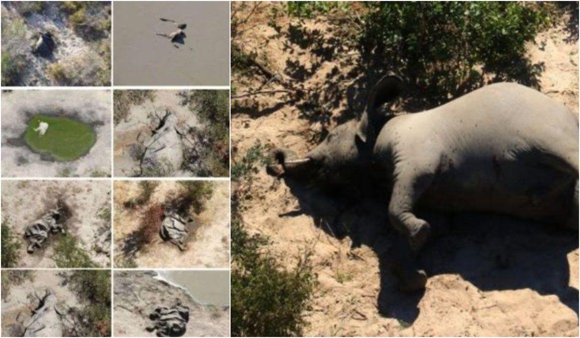 Misterio por la muerte de cientos de elefantes en Botsuana: serían más de 350