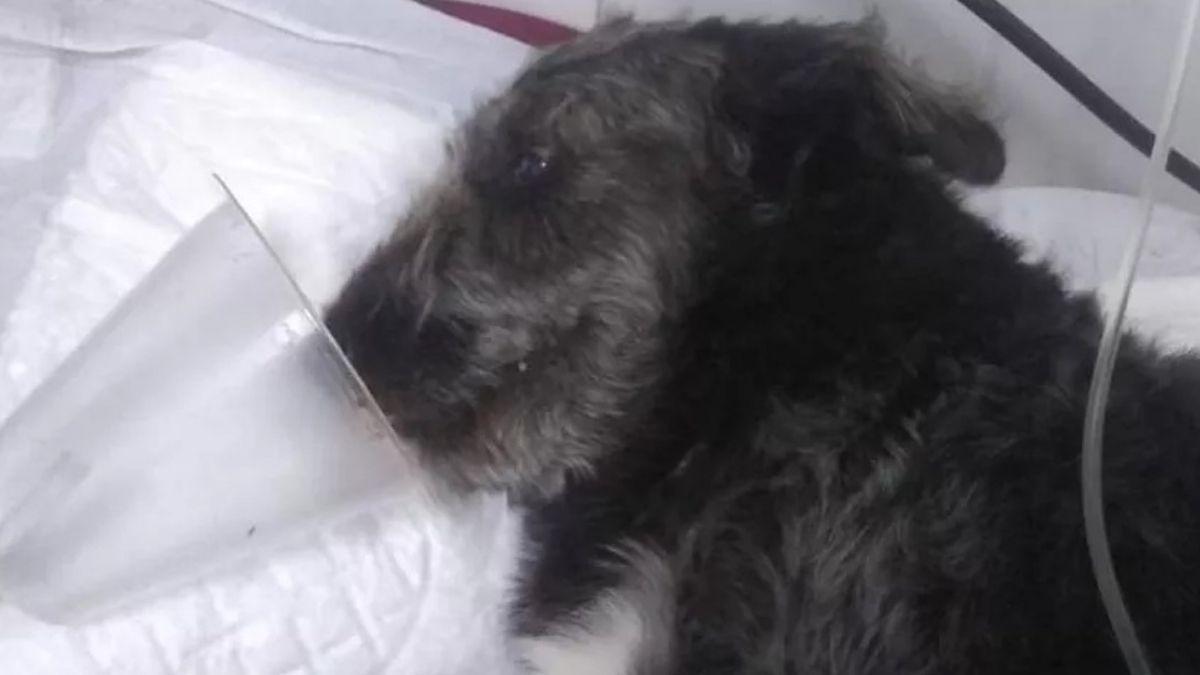 Sao Paulo: un perro rescató a niña de 12 años de una serpiente