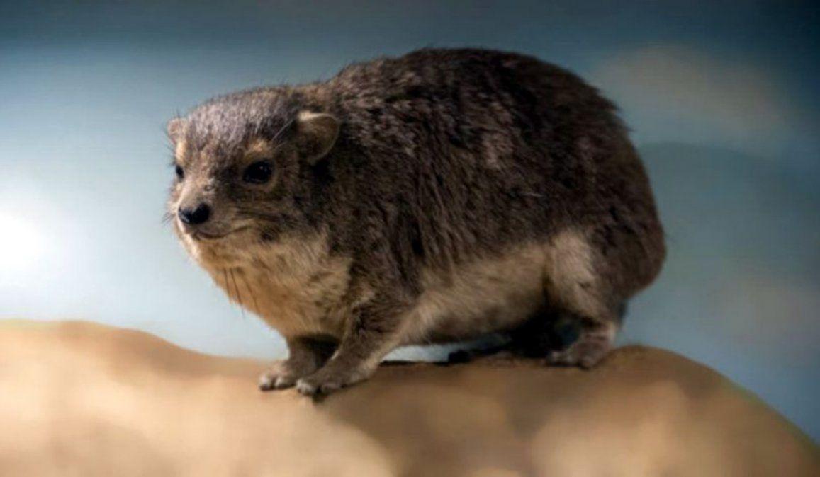 Hallan un nuevo mamífero en África: su ladrido nocturno es turbador