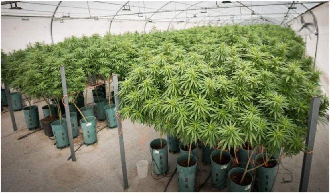 El próximo jueves se inaugura el laboratorio de aceite de cannabis