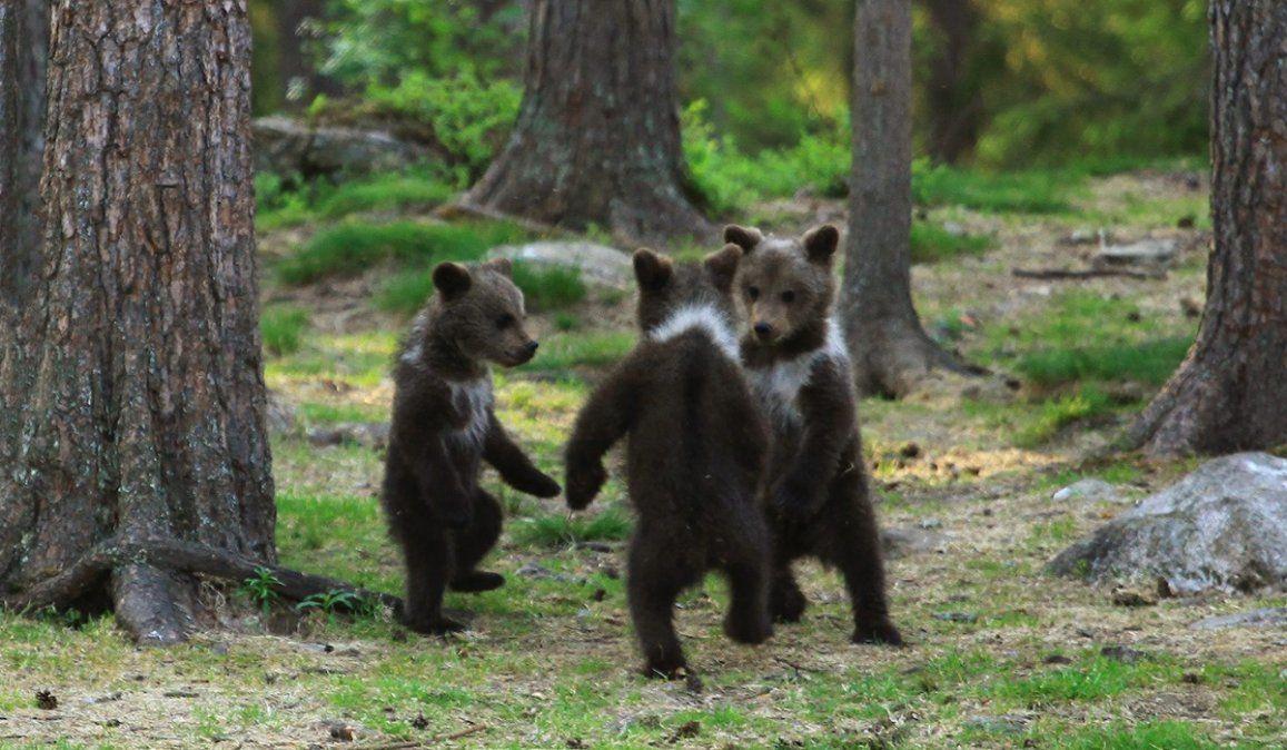Un fotógrafo aficionado caza a tres ositos bailando de pie en medio del bosque