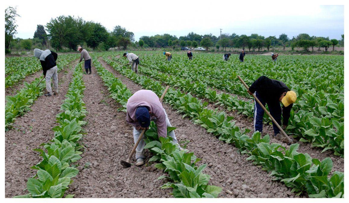 Tabaco: Productores desconcertados