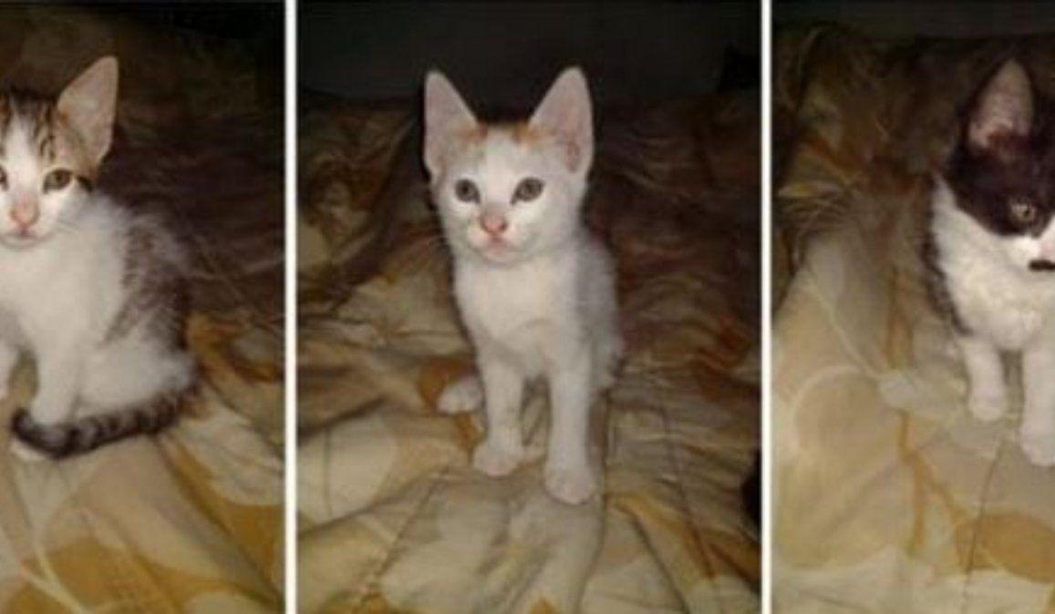 Buscan hogar para tres gatitos