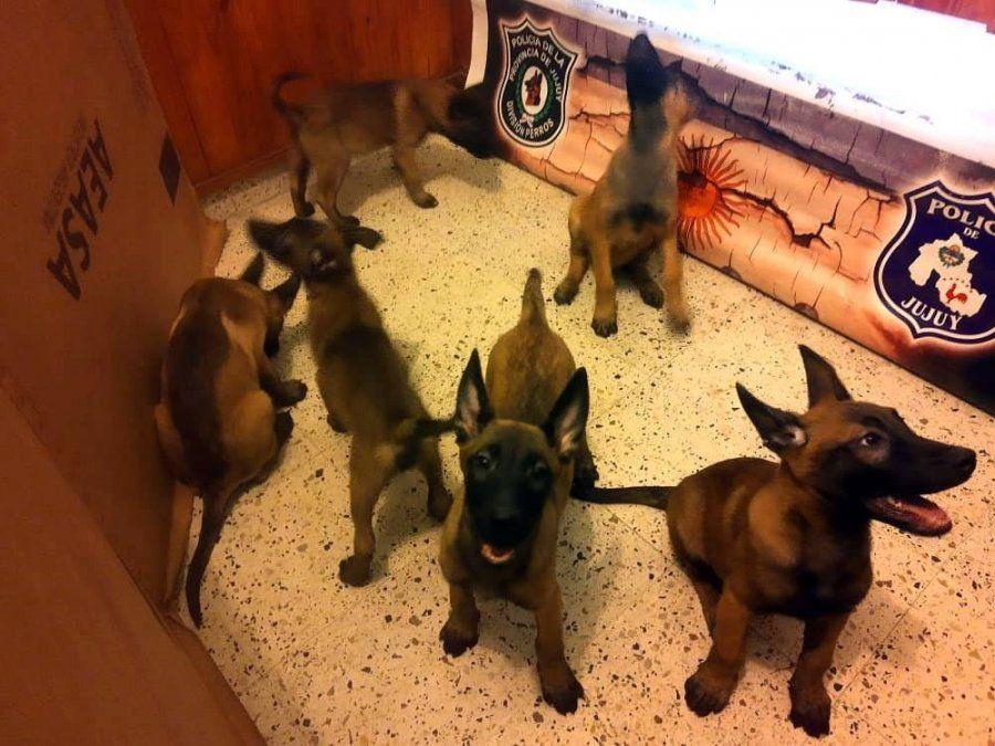¡Nuevos efectivos! La policía incorporó seis cachorritos a la División Canes
