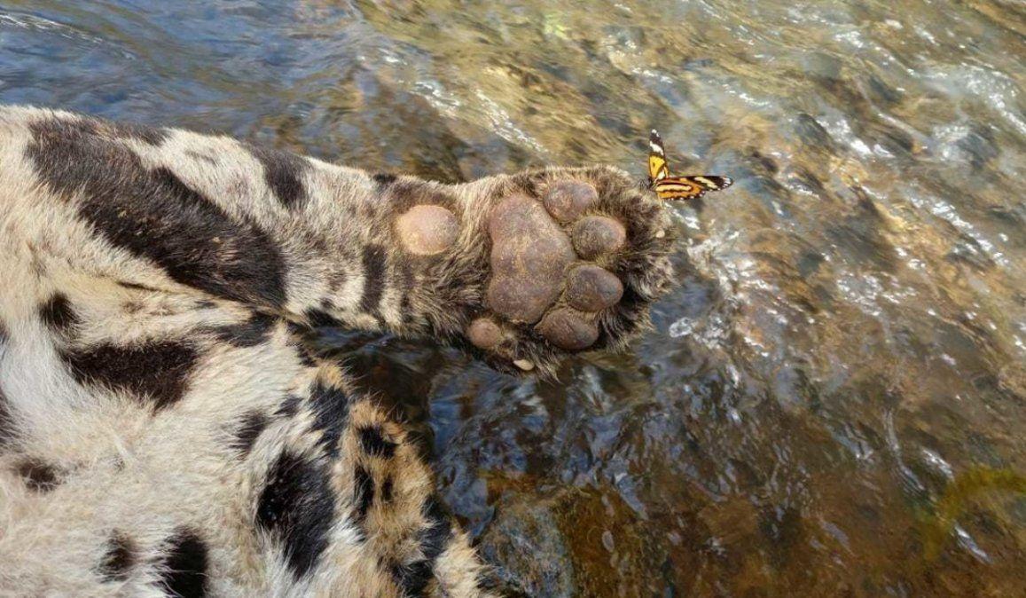 50 perdigones y arrojado desde un puente a un río: La muerte de uno de los últimos jaguares en Brasil