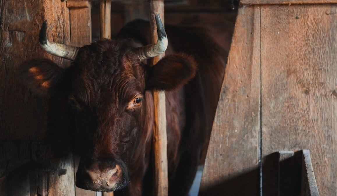 VIDEO: Unas vacas pasan todo el invierno encerradas, las liberan y su reacción no tiene precio
