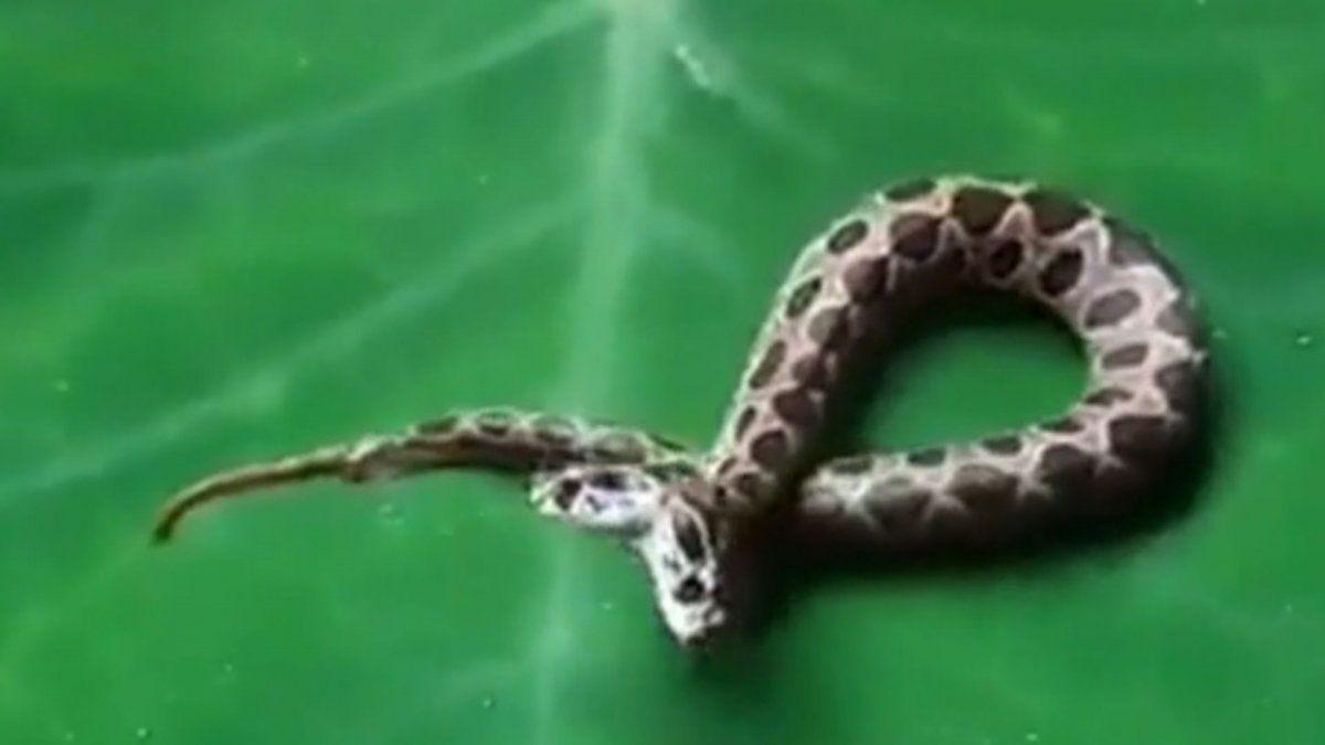 Capturaron una serpiente de dos cabezas: Dos cerebros y un cuerpo luchan por la comida